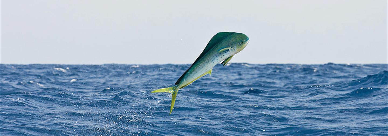 Seychelles-Dorado-Fishing
